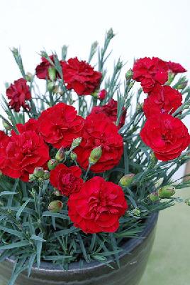 Dianthus - Passion 140mm Pot