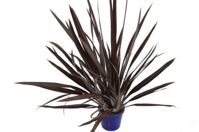 Phormium - Anna Red Flax 200mm Pot (VN)