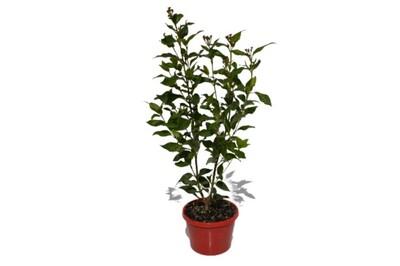 Viburnum - Tinus Laurustinus 150mm Pot (VN)