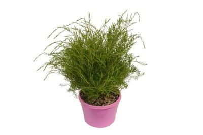 Coleonema - Dwarf Pink Diosma 150mm Pot (VN)