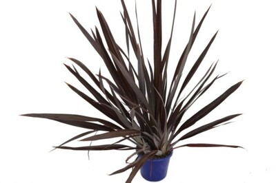Phormium - Anna Red Flax 250mm Pot